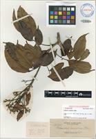 Isotype of Connarus carnosus (I.A.Abbott & I.Meneses) I.A.Abbott [family CONNARACEAE]