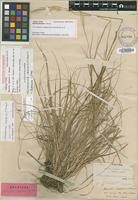 Isotype of Agrostis rapensis (L.f.) Hook.f. [family POACEAE]