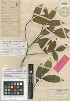 Lectotype of Celtis paniculata (Spreng.) var. rapensis F.Br. [family ULMACEAE]