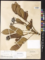 Not a Type of Polyscias oahuensis (A.Gray) Lowry & G.M.Plunkett [family ARALIACEAE]