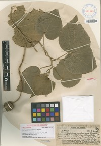 Holotype of Abortopetalum sandwicense (O.Deg.) Christoph. [family MALVACEAE]