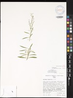 Not a Type of Schiedea ligustrina Cham. & Schltdl. [family CARYOPHYLLACEAE]