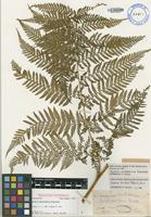 Isotype of Hypolepis neocaledonica (G.Forst.) Bernh. [family DENNSTAEDTIACEAE]