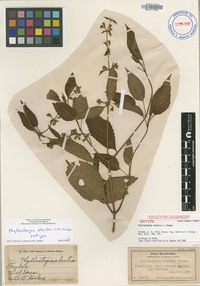 Isotype of Phyllostegia electra C.N.Forbes [family LAMIACEAE]