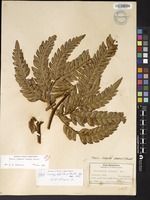 Not a Type of Pteris lidgatei (Baker) Christ [family PTERIDACEAE]