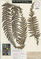 Holotype of Polystichum marquesense E.D.Br. [family DRYOPTERIDACEAE]