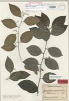 Isotype of Gymnosporia montana (A.Gray) Ding Hou var. samoensis Lauterb. & Loes. in Lauterb [family CELASTRACEAE]