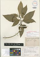 Holotype of Cyrtandra longiflora J.W.Moore [family GESNERIACEAE]