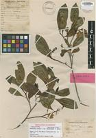Holotype of Dodonaea viscosa F.Br. var. marquesensis F.Br. [family SAPINDACEAE]