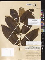 Not a Type of Polyscias kavaiensis (H.Mann) Lowry & G.M.Plunkett [family ARALIACEAE]