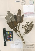 Isotype of Pelea paniculata (H.St.John) T.G.Hartley & B.C.Stone [family RUTACEAE]