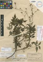 Holotype of Bidens micranthoides [family ASTERACEAE]
