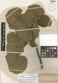 Isotype of Hibiscadelphus wilderianus Rock [family MALVACEAE]
