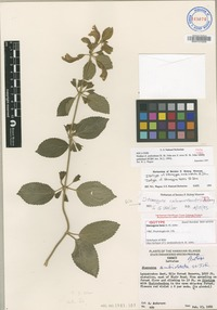 Isotype of Stenogyne ambiobtuta A.Gray [family LAMIACEAE]