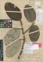 Isotype of Pelea volcanica (A.Gray) T.G.Hartley & B.C.Stone var. lianoides Rock [family RUTACEAE]