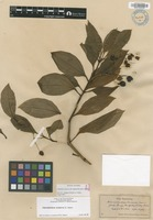 Not a Type of Schiedea trinervis (H.Mann) Pax & K.Hoffm. [family CARYOPHYLLACEAE]