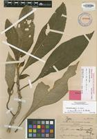 Holotype of Cyrtandra grayi C.B.Clarke [family GESNERIACEAE]