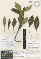 Holotype of Cyrtandra hematos H.St.John [family GESNERIACEAE]