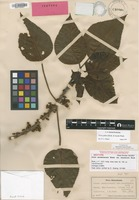 Isotype of Urera sandvicensis (Hook. & Arn.) Wedd. var. kauaiensis Rock [family URTICACEAE]