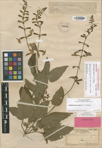 Isotype of Haplostachys munroi C.N.Forbes [family LAMIACEAE]