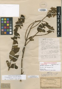 Holotype of Stenogyne olowaluensis Benth. [family LAMIACEAE]