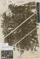 Not a Type of Dryopteris tetrapinnata W.H.Wagner & Hobdy [family DRYOPTERIDACEAE]