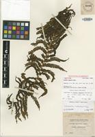 Isotype of Cyathea rugosula (G.Forst.) Copel. [family CYATHEACEAE]