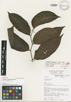Isotype of Glochidion brothersonii Florence [family EUPHORBIACEAE]
