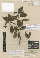 Holotype of Calycosia laxiflora A.C.Sm. [family RUBIACEAE]