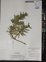 Not a Type of Dubautia reticulata (Sherff) D.D.Keck [family ASTERACEAE]