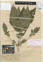 Isotype of Dicliptera clarkei Elmer [family ACANTHACEAE]