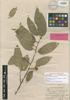 Isotype of Ficus trichoneura Summerh. [family MORACEAE]