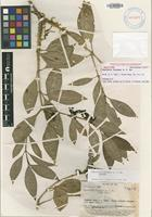 Isotype of Psychotria incompta A.C.Sm. [family RUBIACEAE]