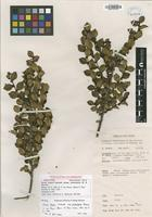 Isotype of Eurya brassii W.R.Barker subsp. psilocladus W.R.Barker [family THEACEAE]