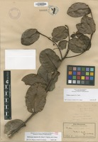 Not a Type of Melicope munroi (H.St.John) T.G.Hartley & B.C.Stone [family RUTACEAE]