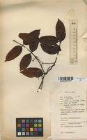 Filed as Isoberlinia angolensis (Benth.) Hoyle [family CAESALPINIACEAE]