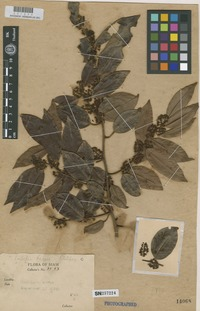 Filed as Embelia kerrii H.R.Fletcher [family MYRSINACEAE]