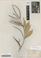 Isotype of Trachelospermum stans A. Gray [family APOCYNACEAE]