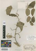 Isotype of Lonchocarpus pluvialis Rusby [family FABACEAE]