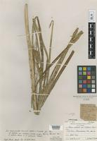 Lectotype of Carex rostrata Stokes var. cliftonii Farw. [family CYPERACEAE]
