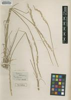 Type of Agropyron montanum Nutt. [family POACEAE]