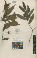 Isotype of Guatteria hookeri A.St-Hil.& Tulasne [family ANNONACEAE]