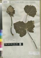 Isotype of Erythrina mollissimus Meisn. [family LEGUMINOSAE]
