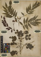 Lectotype of Cassia tora L. [family FABACEAE]