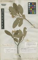 Type of Capparis furfuracea DC. [family CAPPARIDACEAE]