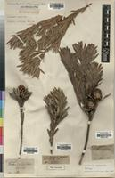 Holotype of Leucadendron uliginosum R.Br. [family PROTEACEAE]