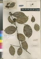 Holotype of Strychnos talbotiae S.Moore [family LOGANIACEAE]