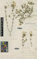 Filed as Linanthus androsaceus (Benth.) H.Mason ssp. luteus [family POLEMONIACEAE]