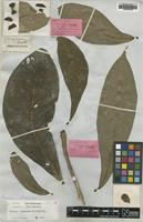 Holotype of Butonica terrestris Miers [family LECYTHIDACEAE]