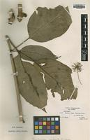 Type of Mackinlaya radiata Philipson [family ARALIACEAE]